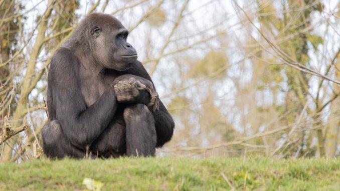 gorila zoo madrid